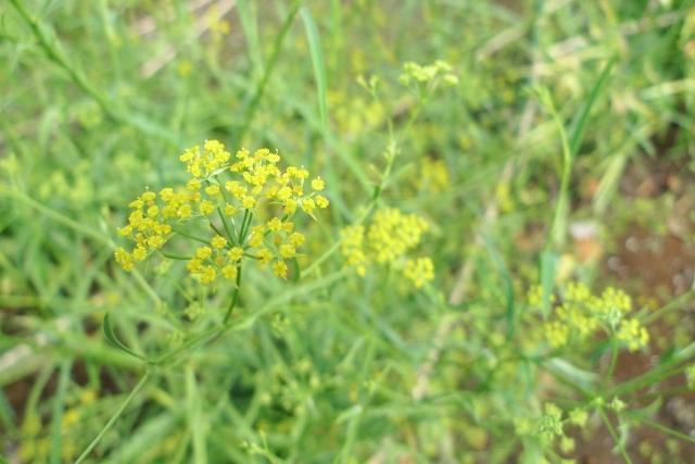 ミシマサイコの花